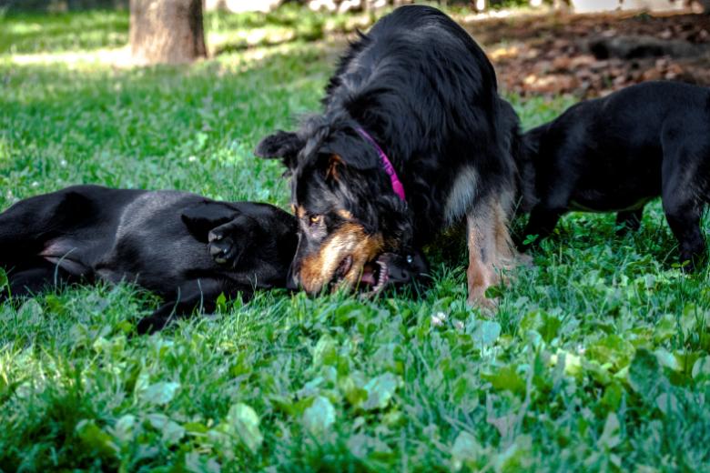 CBD Öl Tiere (Hauptsächlich Hunde und Katzen)